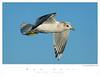 Gull_Mew TAB08MK3-01842