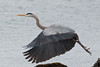 Heron_Great Blue TAB11MK4-6895