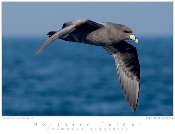 Fulmar_Northern TAB09MK3-18508