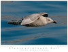 Gull_Glaucous-winged TAB09MK3-00032