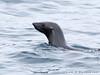 Seal Fur TAB10MK4-26581