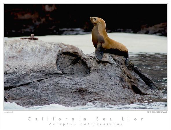 Sea Lion_California TAB08MK3-13312