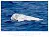 Dolphin_Risso's TAB08MK3-11738