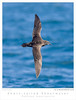 Shearwater_Short-tailed TAB08MK3-03747