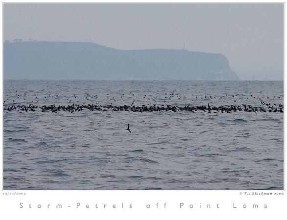 Storm-Petrels off Pt Loma TAB09MK3-17856