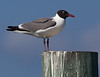 Gull_Laughing TAB11MK4-20229