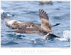 Shearwater_Pink-footed TAB09MK3-15579