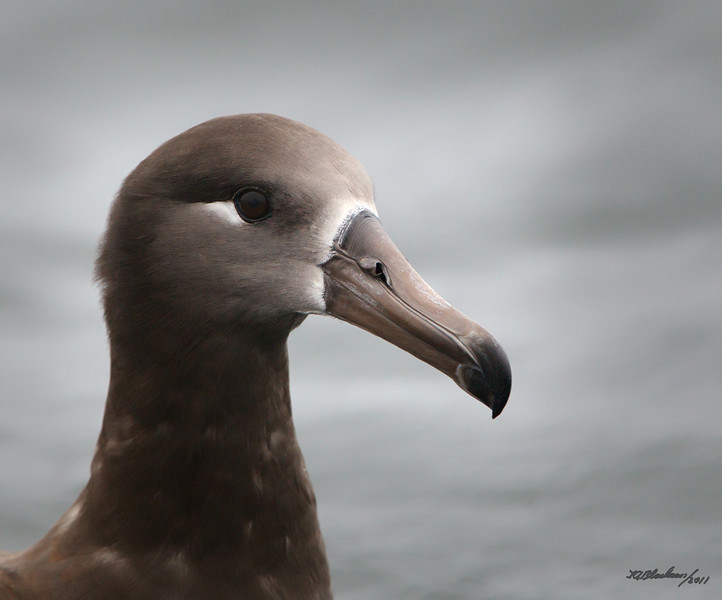 Black-footed Albatross<br /> Phoebastria nigripes