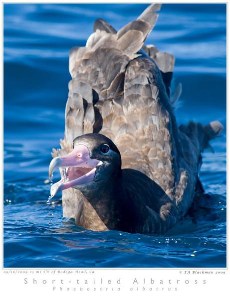 Albatross_Short-tailed TAB09MK3-17806