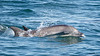 Common Bottlenose Dolphin<br /> Tursiops truncatus