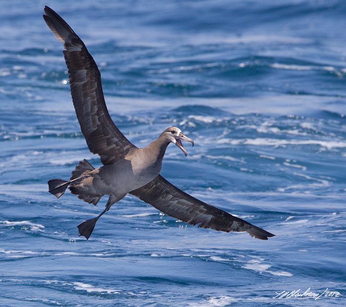 Black-footed Albatross<br /> Phoebastria nigripes