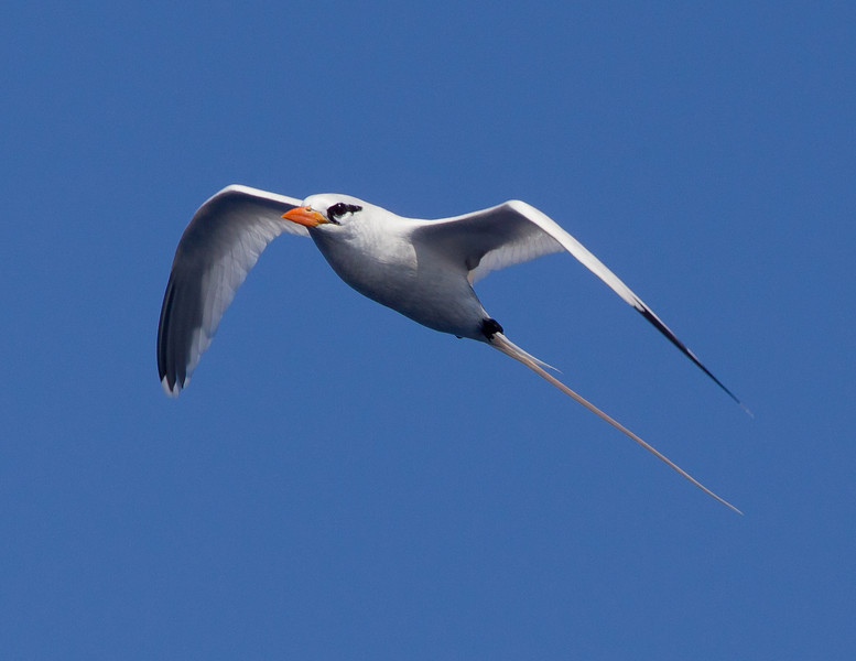 Tropicbird_White-tailed TAB11MK4-18736