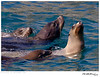 Sealion_California TAB10MK4-33965