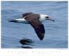 Albatross_Laysan TAB08MK3-08103