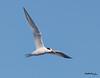 Elegant Tern<br /> Thalasseus elegans