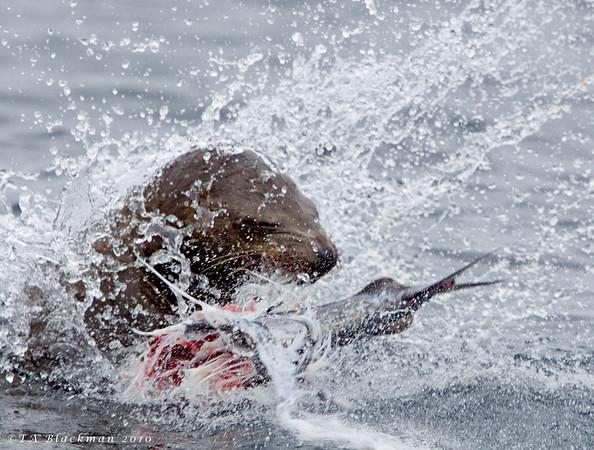 California Sealion w/prey