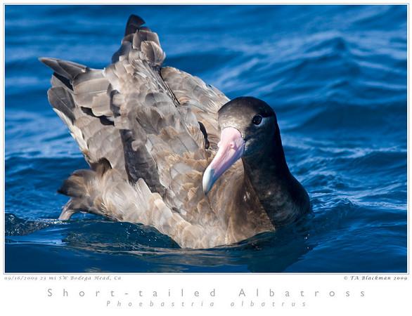 Albatross_Short-tailed TAB09MK3-17821