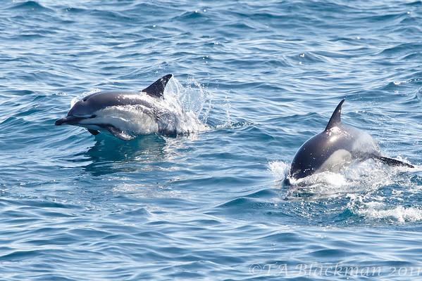 Dolphin_Common TAB11MK4-6095