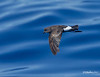 Band-rumped Storm Petrel