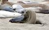 Seal_Elephant TAB10MK4-21371