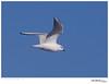Gull_Bonaparte's TAB10MK4-33576