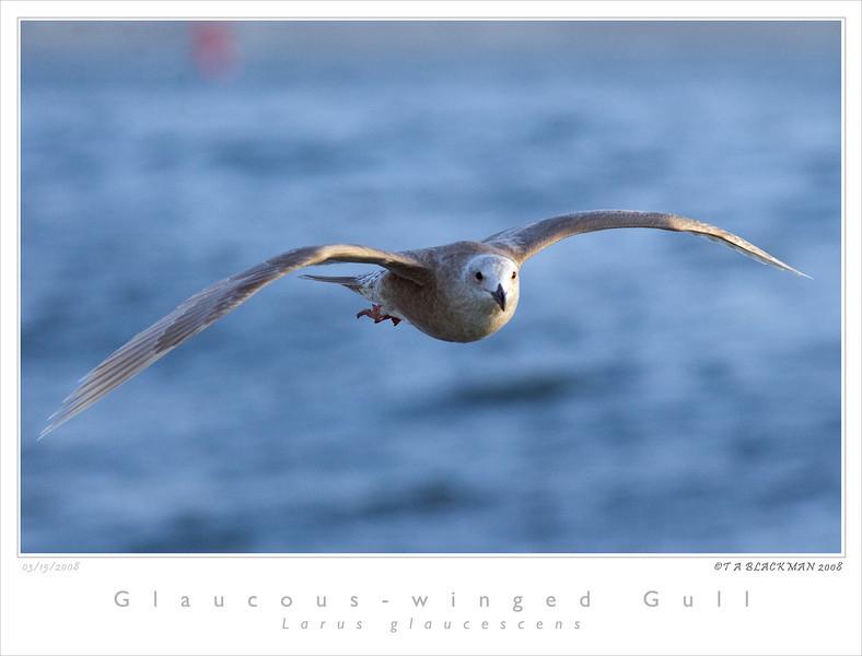 Gull_Glaucous-winged TAB08MK3-03620