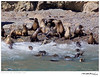 Sealion_California TAB10MK4-33950