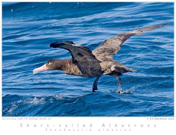 Albatross_Short-tailed TAB09MK3-17891