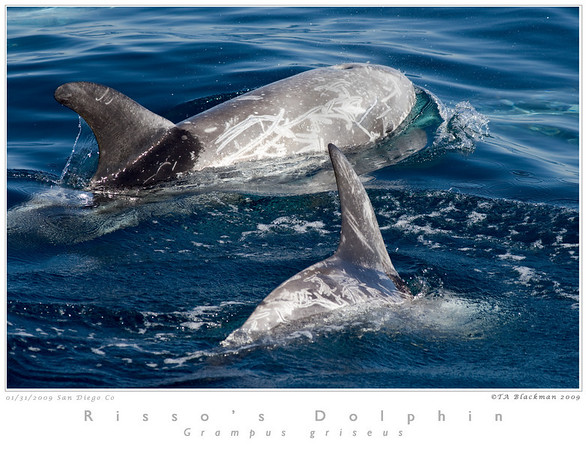 Dolphin_Risso's TAB09MK3-01253
