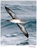 Shearwater_Pink-footed TAB10MK4-28104