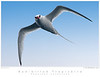 Tropicbird_Red-biilled TAB09MK3-14123