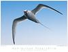Tropicbird_Red-biilled TAB09MK3-14123