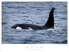 Orca TAB07N_05535