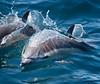 Common Dolphin<br /> Delphinus delphis