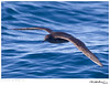 Shearwater_Short-tailed TAB10MK4-33677