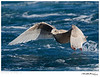 Gull_Glaucous-winged TAB10MK4-34093