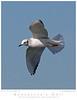 Gull_Bonaparte's TAB10MK4-36148