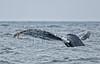 Humpback Whale<br /> Megaptera novaeangliae