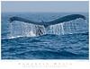 Whale_Humpback TAB09MK3-18961