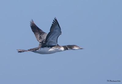 Pelagic Birding 2014