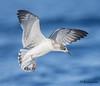 Frnaklin's Gull