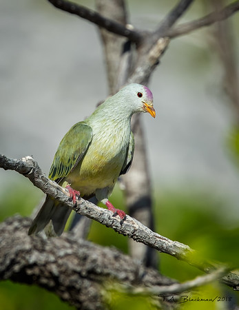 Atoll Fruit Dove