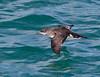 Fluttering Shearwater<br /> Puffinus gavial