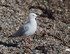 Red-billed Gull<br /> Larus scopulinus