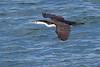 Pied Cormorant<br /> Phalacroocorax varius