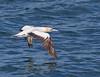 Australasian Gannet<br /> Morus serrator