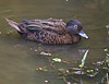 Brown Teal<br /> Anas chlorotis