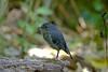 North Island Robin<br /> Petroica longipes