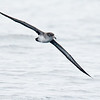 PINK-FOOTED SHEARWATER<br /> San Diego trough