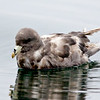 NORTHERN FULMAR<br /> Outside the Mission Bay jetty.